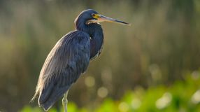 Tricolored heron looking for what's for breakfest in Florida, US. Tricolored heron looking for what's for breakfest Royalty Free Stock Photo