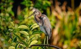 Tricolored heron looking what's going on in Florida, USA. Royalty Free Stock Photo
