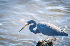 Tricolored Heron with a minnow in its beak. Tricolored Heron with a minnow it just caught in its beak Royalty Free Stock Images