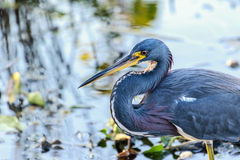Tricolored Heron at Myakka Stock Photography