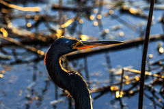Tricolored Heron at Myakka Royalty Free Stock Image
