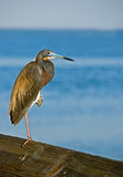 Tricolored heron near sea Stock Photography