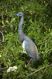 Tricolored heron perched on branches, springtime in wetlands of Stock Image