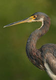 Tricolored heron portrait Stock Photography