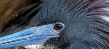 Tricolored Heron Portrait royalty free stock photo