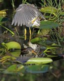 Tricolored Heron Preening its Feathers Royalty Free Stock Images