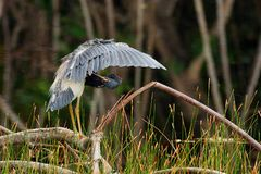 Tricolored Heron preening, south Florida royalty free stock image