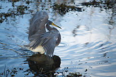 Tricolored heron preying Stock Images