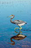 Tricolored heron stock image