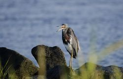 Tricolored Heron on rocky shore, Hilton Head Island, USA