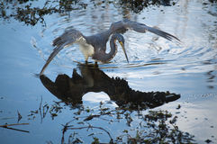 Tricolored heron and it's reflection in water Royalty Free Stock Images
