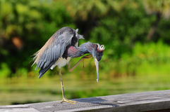 Tricolored Heron Scratching Royalty Free Stock Photos