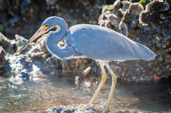 Tricolored Heron searching for food. Backlit Tricolored Heron standing on a rock searching for food on a cool, fall morning Royalty Free Stock Photos