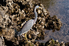 Tricolored Heron searching for food. On a cool fall morning Royalty Free Stock Images