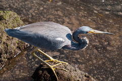 Tricolored Heron searching for food. On a cool fall morning Royalty Free Stock Image