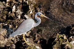 Tricolored Heron searching for food. In the water on a cool, fall morning Stock Photography