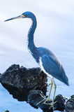 Tricolored Heron searching for food. In the water on a cool, fall morning Royalty Free Stock Images