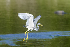 Tricolored Heron snags tiny fish Royalty Free Stock Image