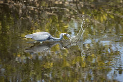Tricolored heron splashing in a pond at Merritt Island, Florida. Tricolored heron, Egretta tricolor, plunging its bill into the water with a splash to catch a stock photos