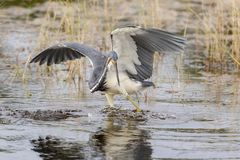 Tricolored Heron stalking its prey - Merritt Island Wildlife Ref. Tricolored Heron Egretta tricolor stalking its prey - Merritt Island Wildlife Refuge, Florida Royalty Free Stock Photography