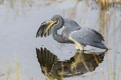 Tricolored Heron stalking its prey - Merritt Island Wildlife Ref. Tricolored Heron Egretta tricolor stalking its prey - Merritt Island Wildlife Refuge, Florida Stock Photography