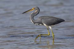 Tricolored Heron Stalking Its Prey - St. Petersburg, Florida Stock Images