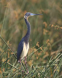 Tricolored Heron Standing in a Marsh Royalty Free Stock Photography