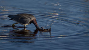 Tricolored Heron Striking for Prey Royalty Free Stock Photography