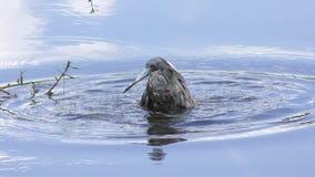 Tricolored Heron taking a bath in a lake. Tricolored Heron taking a bath in Florida lake stock video