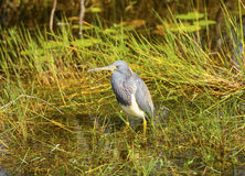 Tricolored Heron in teh Swamp Royalty Free Stock Images