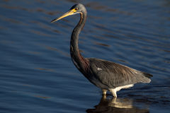 Tricolored Heron. A tri-colored heron wading Royalty Free Stock Photos
