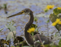 Tricolored Heron. Tricolor Heron adult swamp with flowers Royalty Free Stock Photos
