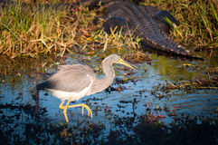 Tricolored heron wading behind Stock Images