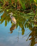 Tricolored Heron wading in South Florida stock images
