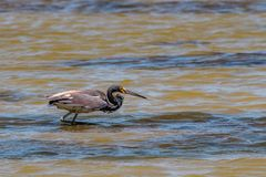 Tricolored Heron Wading in the Texas Marsh. Looking for food stock image