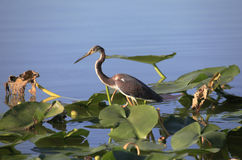 Tricolored Heron Walkes Across Lilly Pads In Search of It's Next Stock Image