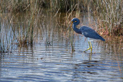 Tricolored Heron walking the Wetlands Royalty Free Stock Photos