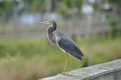Tricolored Heron Watches. A tricolored heron watches over an estuary in Southern Florida stock photo