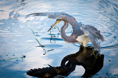 Tricolored heron watching it's prey Royalty Free Stock Images