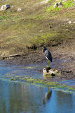Tricolored Heron at water edge Royalty Free Stock Photos