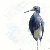 Tricolored Heron watercolor Royalty Free Stock Photography