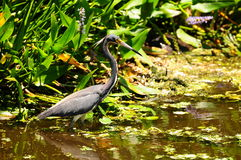 Tricolored Heron in Wetland Royalty Free Stock Image