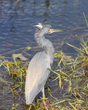 Tricolored Heron in a Wetland Royalty Free Stock Photography