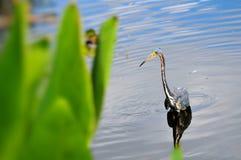 Tricolored Louisiana heron Stock Images