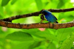 Tricolored Parrot-Finch bird on branch Royalty Free Stock Images