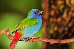 Tricolored Parrot-Finch bird, South Florida stock photo