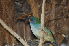 Tricolored Parrot Finch Royalty Free Stock Photo
