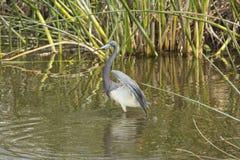 Tricolored-Reiher, der im Wasser eines Florida-Sumpfs watet Stockbilder
