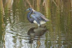 Tricolored-Reiher, der im Wasser eines Florida-Sumpfs watet Lizenzfreie Stockbilder