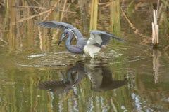 Tricolored-Reiher, der im Wasser eines Florida-Sumpfs watet Stockfoto